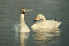 Bewick's Swans at Big Waters.jpg