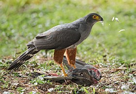 Bicoloured Hawk (Accipiter bicolor) with prey.jpg