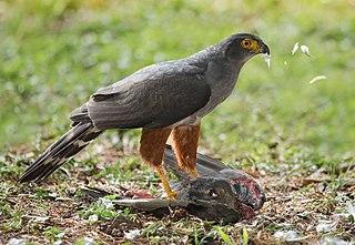 Bicolored hawk species of bird