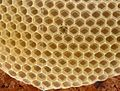 Bienenwabe im Bau 52a.jpg