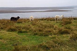Yell, Shetland - Sheep in south Yell, with Bigga behind