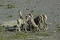 Bighorn sheep (Ovis canadensis) - Jasper National Park 09.jpg