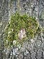 Biotop na kmeni topolu 12.jpg
