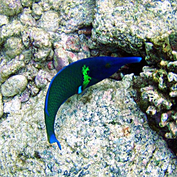 http://upload.wikimedia.org/wikipedia/commons/thumb/d/da/Bird_Wrasse.jpg/600px-Bird_Wrasse.jpg