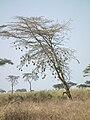 Birdnests in Tanzania 3548 Nevit.jpg