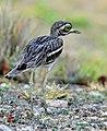 Birds of Maharashtra5.jpg