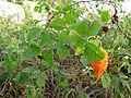 Bitter Melon (16533882286).jpg