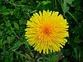 Blüte des gewöhnlichen Löwenzahns.JPG