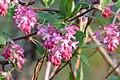 Blüten der Blut-Johannisbeere.jpg