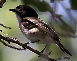 Black-capped vireo2.jpg