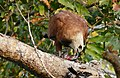 Black-collared Hawk (Busarellus nigricollis) eating some fish ... (28585671296).jpg