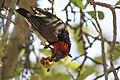 Black-collared barbet (Lybius torquatus) (10902083383).jpg