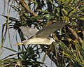 Black-crowned Night Heron (Nycticorax nycticorax), Nusa Dua, Bali, Indonesia (1).jpg