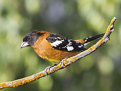 Black-headed Grosbeak, Pheucticus melanocephalus, male, alternate (breeding) plumage 1.jpg