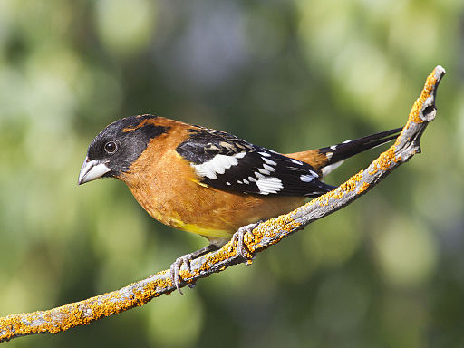 Black-headed Grosbeak, Pheucticus melanocephalus, male, alternate (breeding) plumage 1