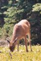 Black-tailed deer grazing, Olympic National Park, USA.jpg