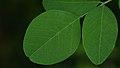 Black Locust (Robinia pseudoacacia) - Guelph, Ontario 02.jpg