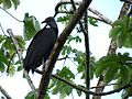 Black Vulture in a Cecropia - Flickr - treegrow.jpg