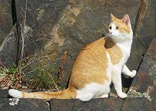 Хордовые.  Кошачьи.  Лесная кошка.  Кошки.  Животные.