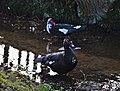 Black muscovy duck standing in a spring in molenvijverpark, Genk, Belgium (DSCF3040).jpg