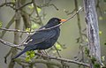 Blackbird (47460289902).jpg