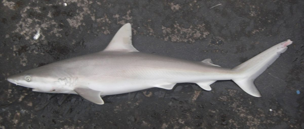 blacknose shark wikipedia