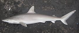 Blacknose shark nmfs.jpg