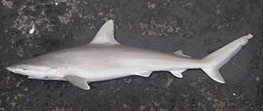 Description de l'image  Blacknose shark nmfs.jpg.