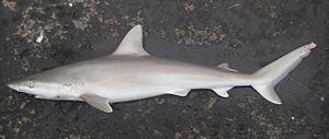Carcharhinus - Blacknose shark (Carcharhinus acronotus)