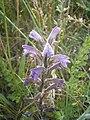Blauwe bremraap 20-06-2005 18.59.22.JPG