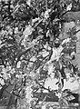 Bloeiende fruitboom in IJzendoorn in de Betuwe, Bestanddeelnr 190-0007.jpg