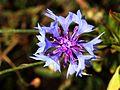 Blossom (2762261544).jpg
