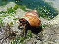 Blue-banded Hermit Crab.jpg