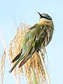 Blue-cheeked bee-eater, Merops persicus, Chobe National Park, Botswana (32445415926).jpg