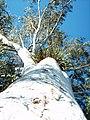 Blue Gum (Eucalyptus Tereticornis) - panoramio.jpg