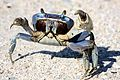 Blue Land Crab (Cardisoma guanhumi) (6852439208).jpg