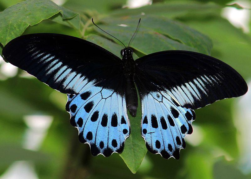 File:Blue Mormon-Papilio polymnestor from Vaniyambalam by Subhash pulikkal 01.jpg
