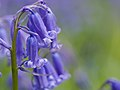 Bluebells (detail) (13912611490).jpg