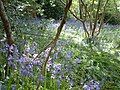 Bluebells and twisted wood - panoramio.jpg