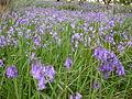 Bluebells at Ynys-hir - Andy Mabbett - 03.JPG