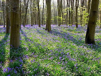 English: Bluebells in Cobham Frith, near Marlb...