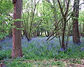 Bluebells in King's Covert - geograph.org.uk - 1282545.jpg