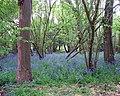 Bluebells in King's Covert - geograph.org.uk - 1282545.jpg