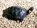 Bog turtle sunning.jpg