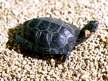 A bog turtle with its tail pointed towards the left of the screen and its head facing the right of the screen. The turtle is looking sharply to its left, away from the viewer.
