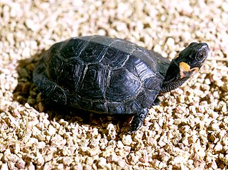 Bog turtle - A young individual