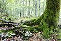 Bohinj forest (23596349909).jpg