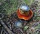 Boletus erythropus 2010 G1.jpg