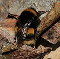 Bombus terrestris (Buff-tailed bumblebee) - queen - Flickr - S. Rae (2).jpg
