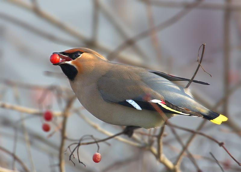 aves que comen uvas